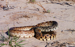 Bullsnake (Pituophis catenifer sayi) Stock Photos