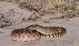 Bullsnake Royalty Free Stock Photo