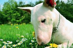 Bullterier. Bull terrier in a garden full of flowers, grasses, meadows and sun.Puppy,animals dog sweet Stock Photo