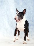 Bullterrier 04 Stockfoto