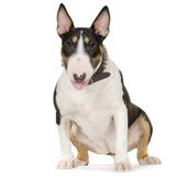 bullterrier Stock Photos