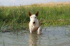 Bullterrier in acqua fotografia stock