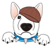 Bullterrier in brown cap Royalty Free Stock Images
