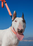 Bullterrier with brown monocle Royalty Free Stock Image