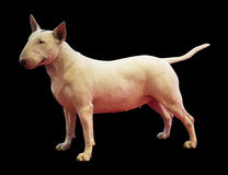 Bullterrier Royalty Free Stock Images