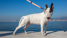 Bullterrier dog standing Royalty Free Stock Image