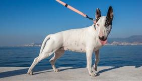 Bullterrier dog standing Royalty Free Stock Image