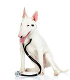 Bullterrier dog with a stethoscope on his neck. Royalty Free Stock Image