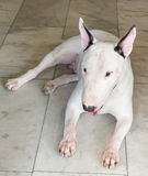 Bullterrier Dog Royalty Free Stock Image