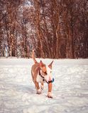 Bullterrier dog in winter park Royalty Free Stock Photos