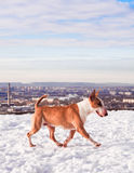 Bullterrier dog in winter park Stock Photography
