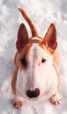 Bullterrier dog in winter park Royalty Free Stock Images