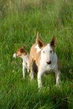 Bullterrier e Terrier del Jack Russel immagine stock
