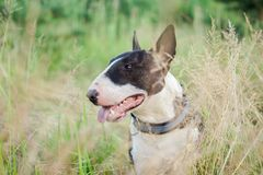 Bullterrier in grass. Dog Bull Terrier brown white in the green grass in summer Royalty Free Stock Images