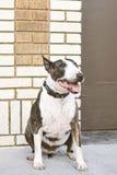Bullterrier-Hund, der gegen eine Backsteinmauer sitzt stockfotografie