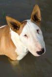 Bullterrier im Wasser Lizenzfreies Stockfoto