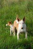 Bullterrier and Jack Russel Terrier Stock Image