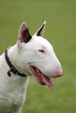 Bullterrier portrait Stock Photography
