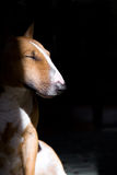Bullterrier portrait Royalty Free Stock Photography