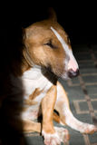 Bullterrier portrait Royalty Free Stock Photography