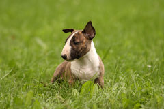 Bullterrier Puppy Stock Images
