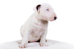 Bullterrier puppy Royalty Free Stock Photo