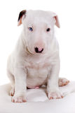 Bullterrier puppy portrait Royalty Free Stock Image