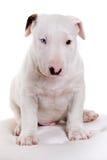 Bullterrier puppy portrait Royalty Free Stock Image