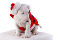Bullterrier puppy in santa suit Stock Photo