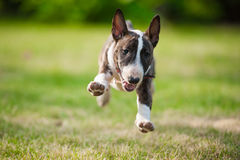 BullTerrier. Running on the grass Stock Image