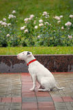 Bullterrier with sad eyes after the rain. Stock Photography