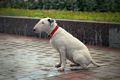 Bullterrier with sad eyes after the rain. Royalty Free Stock Images