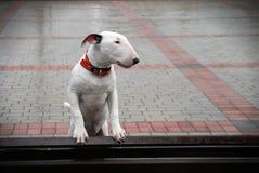 Bullterrier with sad eyes after the rain. Stock Photos