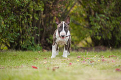 BullTerrier. Standing in the grass Royalty Free Stock Photography