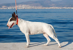 Bullterrier standing on sea background Royalty Free Stock Photos