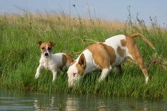 Bullterrier- und Jackrussel Trinken Stockfotos