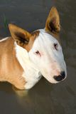 Bullterrier in water Royalty Free Stock Photo