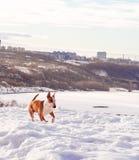 Bullterrierhund im Winterpark Stockbild