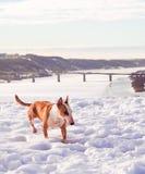 Bullterrierhund im Winterpark Lizenzfreie Stockfotografie