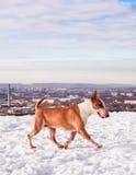 Bullterrierhund im Winterpark Stockfotografie