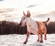 Bullterrierhund im Winterpark Stockfoto