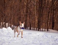 Bullterrierhund im Winterpark Lizenzfreies Stockfoto
