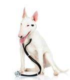 Bullterrierhund med en stetoskop på hans hals. royaltyfri bild