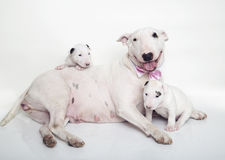 Bullterriermutter, die mit ihren Babys niederlegt und aufwirft Stockfoto