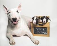 Bullterriermutter und ihre Welpen Lizenzfreies Stockfoto