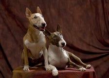 Bullterrierpaare Lizenzfreie Stockfotos