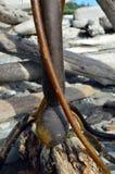 Bullwhip-Kelp-Birne Stockbild