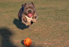 Bully breed jumping in the air for the ball Royalty Free Stock Photos
