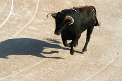 """Bully Bull_3. In France's Camargue Bulls are a passion and a way of life."""" in this picture we see the Razeteur &#x28 Stock Image"""
