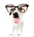 Bully dog with glasses teasing showing tongue. Funny scuffing dog shows tongue royalty free stock image